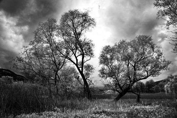 Ir Photograph - Double Tree by Yuri San