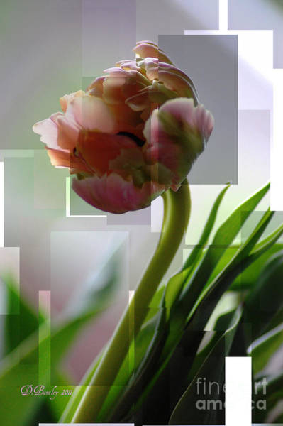 Photograph - Double Tulip by Donna Bentley