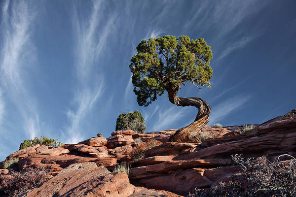 Juniper Photograph - Double Twist Juniper by Dan Norris