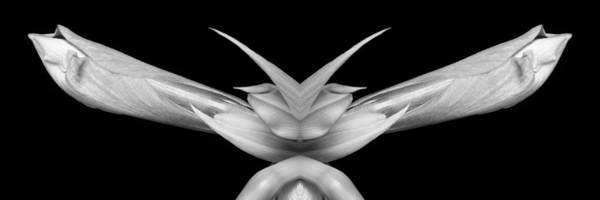 Photograph - Double Vison Close-up Of Amaryllis Bloom Bw by James BO Insogna