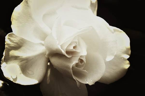 Photograph - Double White by Alice Gipson