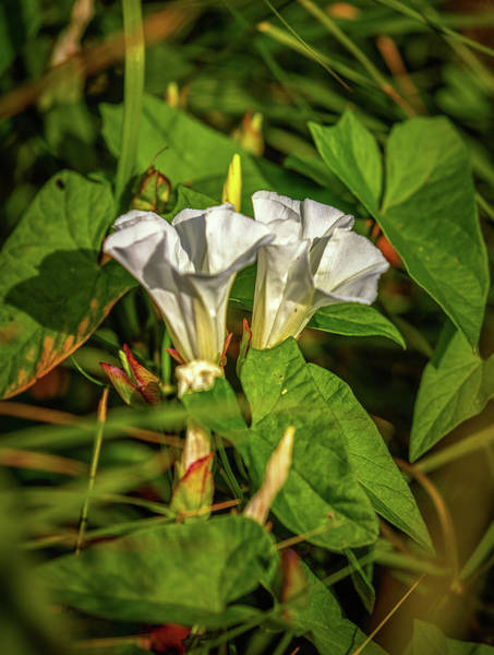 Photograph - Double White #g6 by Leif Sohlman