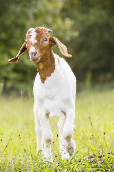 Photograph - Dougie The Goat by Keith May