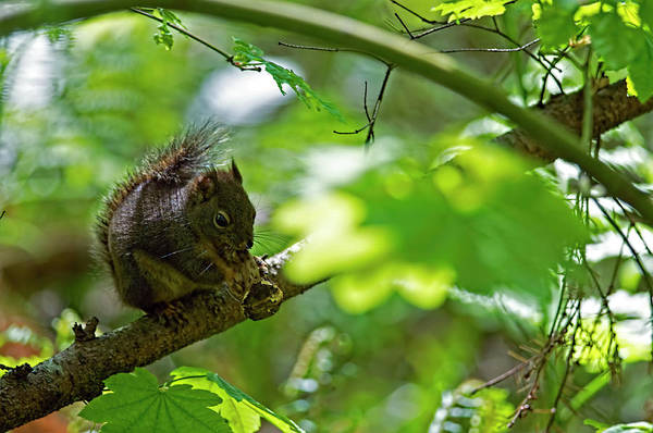 Photograph - Douglas Squirrel Drops Nut by Sharon Talson
