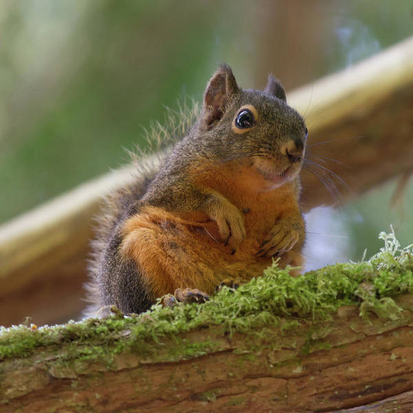 Photograph - Douglas Squirrel by Paul Rebmann