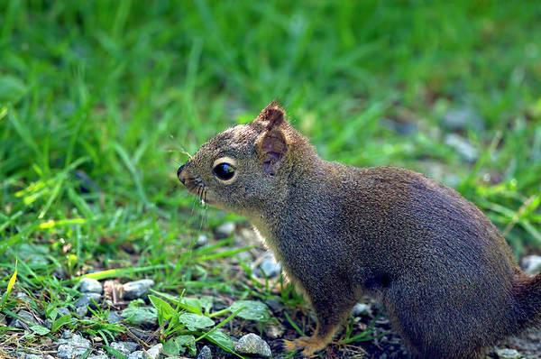 Photograph - Douglas Squirrel  by Sharon Talson