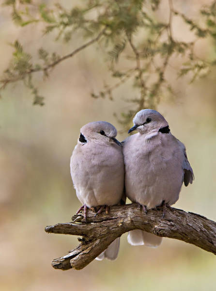 Wall Art - Photograph - Dove Love by Basie Van Zyl