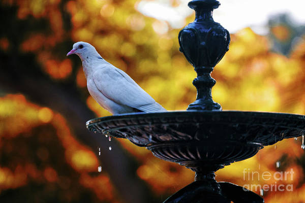 Photograph - Dove On Fountain Genovese Park Cadiz Spain by Pablo Avanzini
