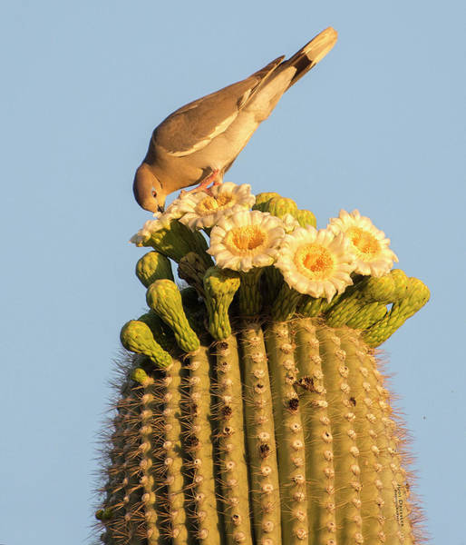 Photograph - Dove On Saguaro by Judi Dressler