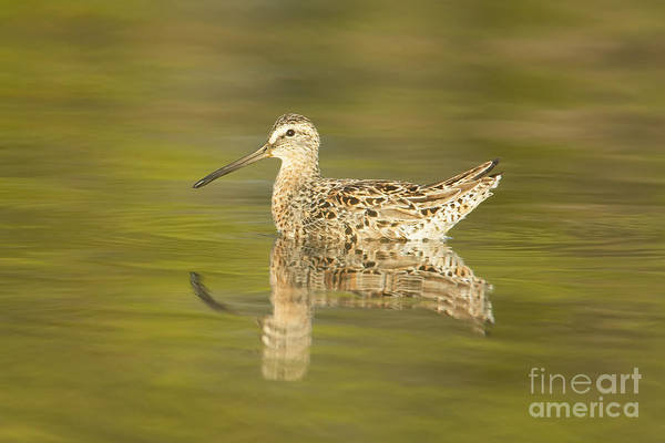 Photograph - Dowitcher Reflection I by Clarence Holmes