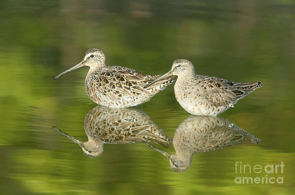 Photograph - Dowitcher Reflections by Clarence Holmes