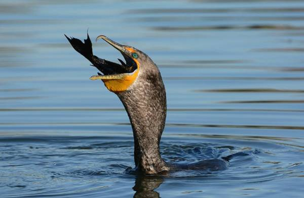 Double Crested Cormorant Photograph - Down The Hatch by Fraida Gutovich
