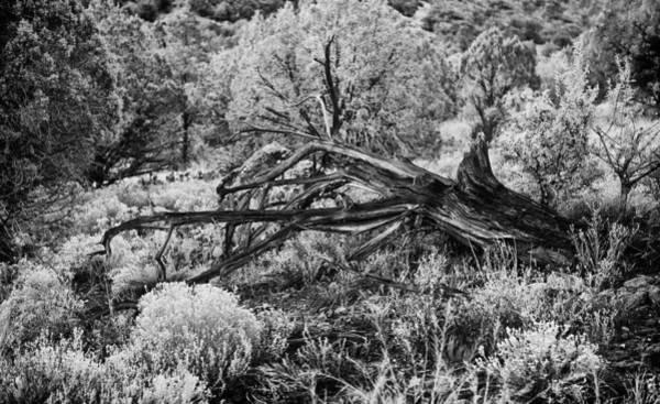 Photograph - Downed Cypress Sedona Arizona Number Five by Bob Coates