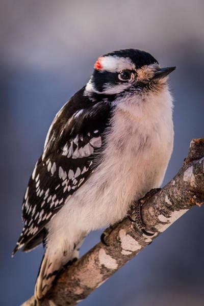 Wall Art - Photograph - Downey Woodpecker by Paul Freidlund