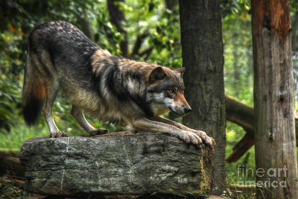 High Dynamic Range Digital Art - Downward Facing Wolf by William Fields