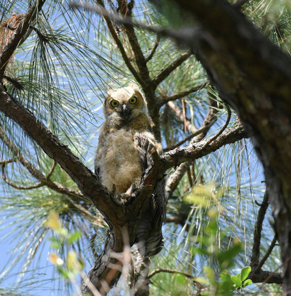 Photograph - Downy Chested Owlet by Sally Sperry