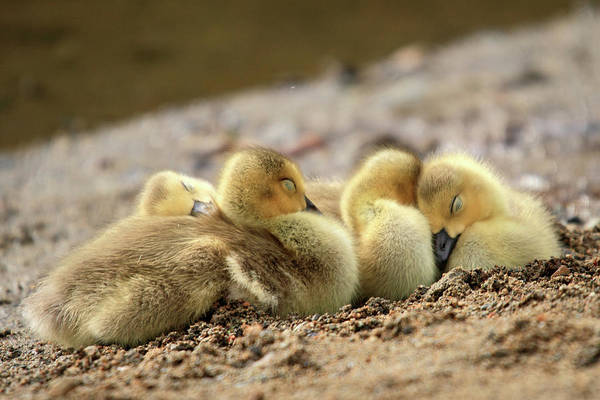 Photograph - Downy Cozy Baby Geese by Pierre Leclerc Photography
