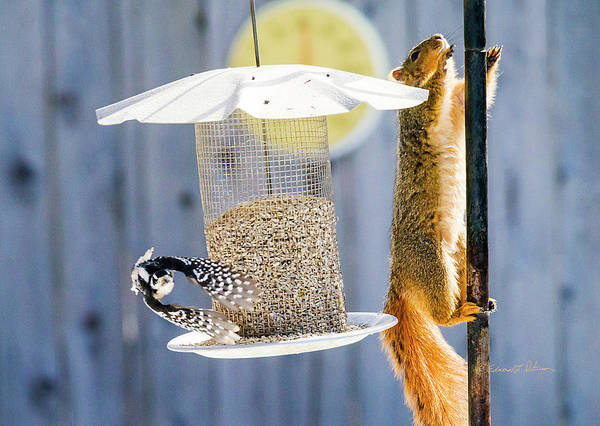 Photograph - Downy Woodpecker And Red Squirrel by Edward Peterson