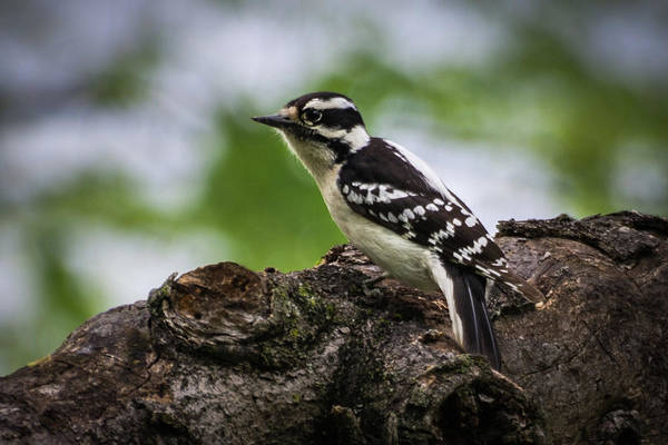 Photograph - Downy Woodpecker by John Benedict