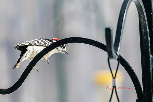 Photograph - Downy Woodpecker Jumping Off by Edward Peterson