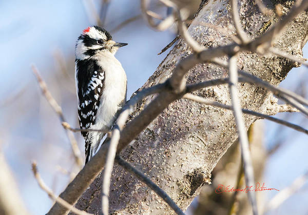 Photograph - Downy Woodpecker On A Limb by Edward Peterson