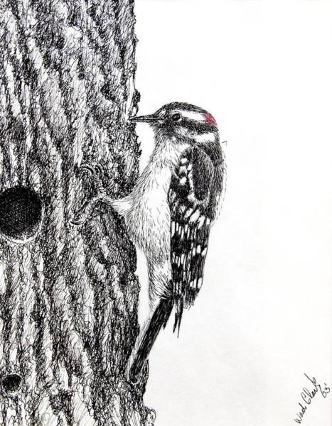 Drawing - Downy Woodpecker by Wade Clark