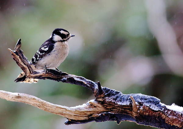 Photograph - Downy Woodpecker With Snow by Daniel Reed