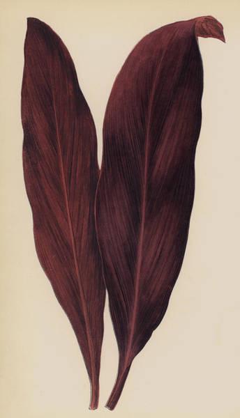 Crimson Painting - Dracaena Ferrea by English School