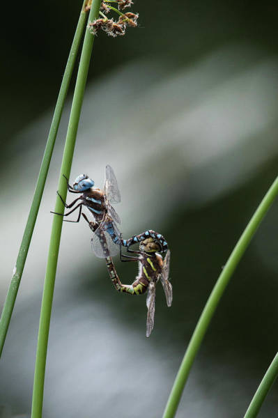 Wall Art - Photograph - Dragon Flies  by Catherine Lau