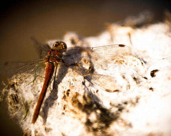 James Craddock Photograph - Dragon Fly-by by James Craddock