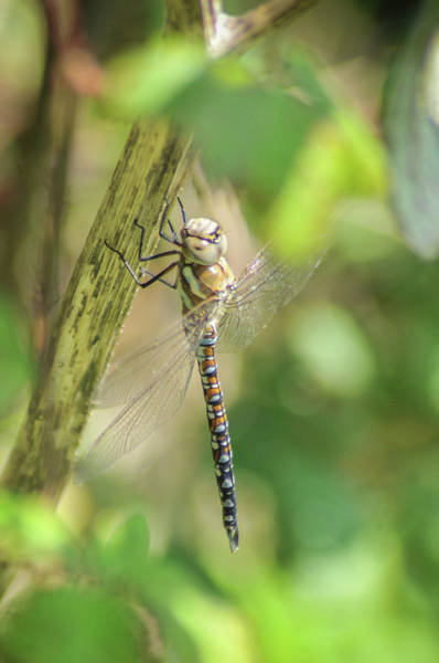 Wall Art - Photograph - Dragon Fly  by David Blaauw
