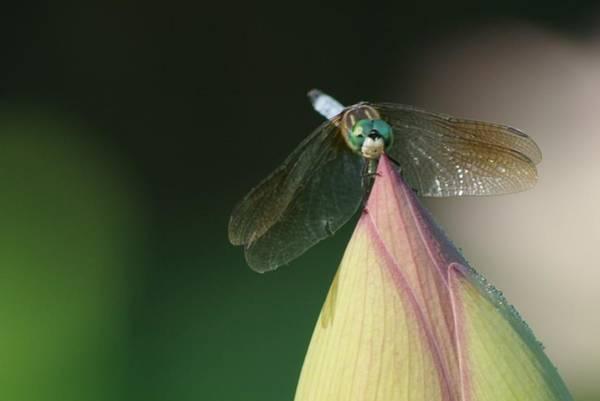 Photograph - Dragon Fly Lotus by Buddy Scott
