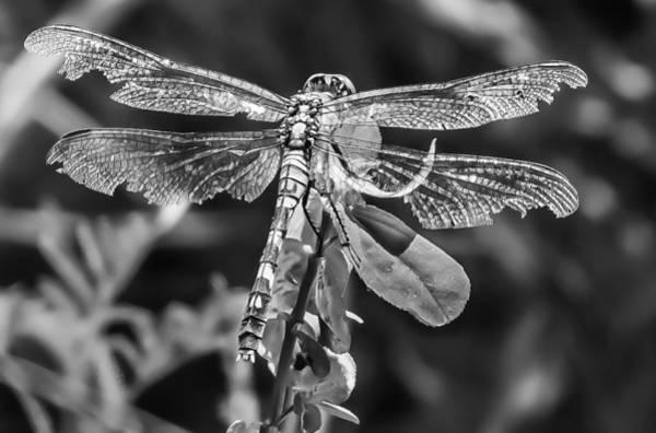 Photograph - Dragon Fly by Richard Goldman