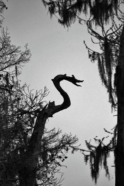Photograph - Dragon Shaped Tree by Cynthia Guinn