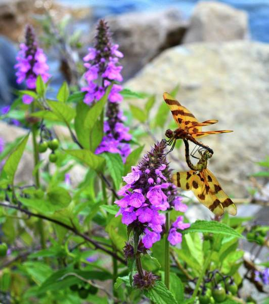 Wall Art - Photograph - Dragonflies In Summer by Lyle Crump