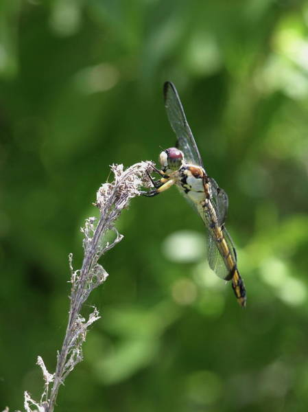 Photograph - Dragonfly - 2 by Jeffrey Peterson