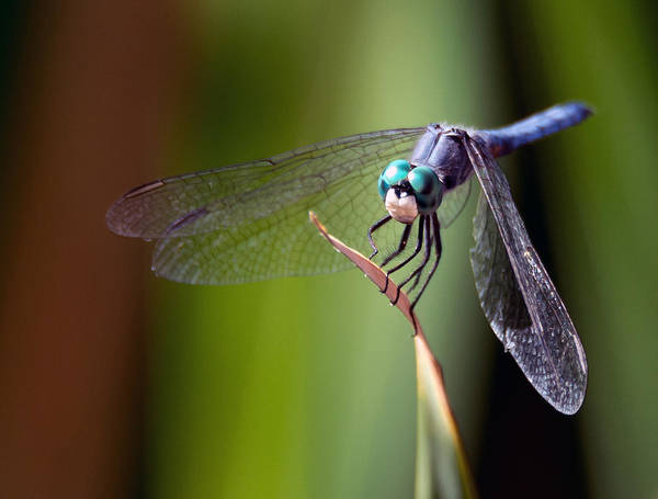 Photograph - Dragonfly 0367 by Tam Ryan