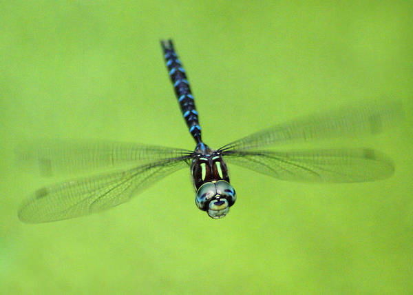 Photograph - Dragonfly #1 by Ben Upham III