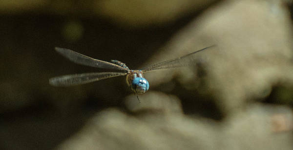 Photograph - Smiling Dragonfly by Marilyn Wilson