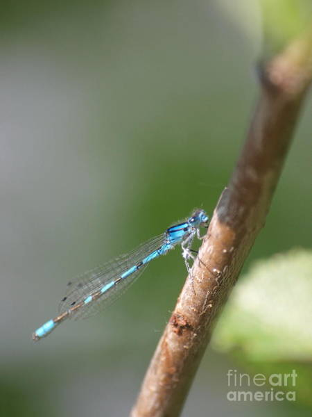 Photograph - Dragonfly 14 by Vivian Martin