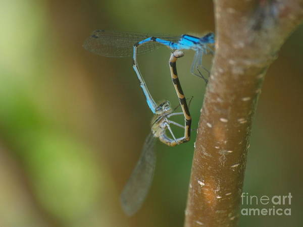 Photograph - Dragonfly 18 by Vivian Martin