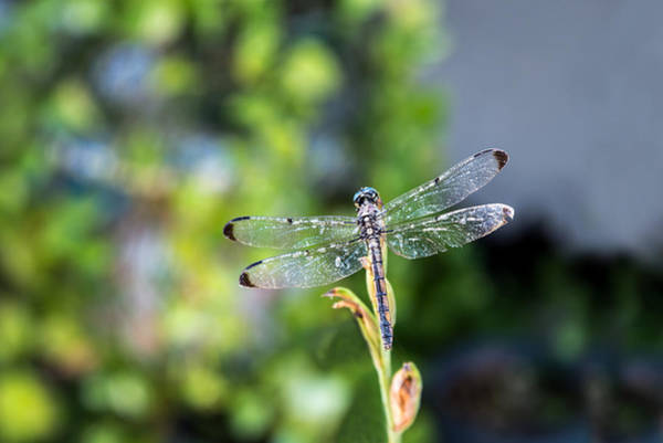 Photograph - Dragonfly-2 by Charles Hite