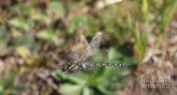 Photograph - Dragonfly 23 by Vivian Martin