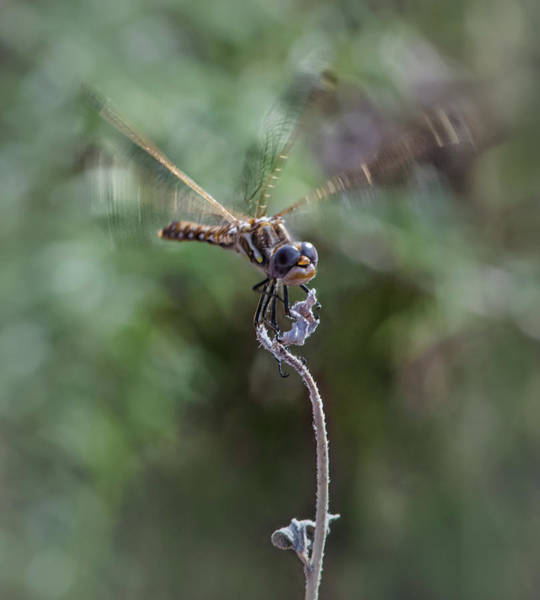Wall Art - Photograph - Dragonfly 3 by Rick Mosher