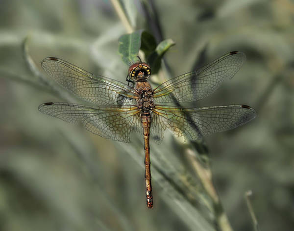 Wall Art - Photograph - Dragonfly 4 by Rick Mosher