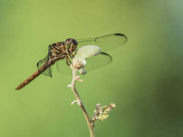 Photograph - Dragonfly 4335-080917-1cr by Tam Ryan