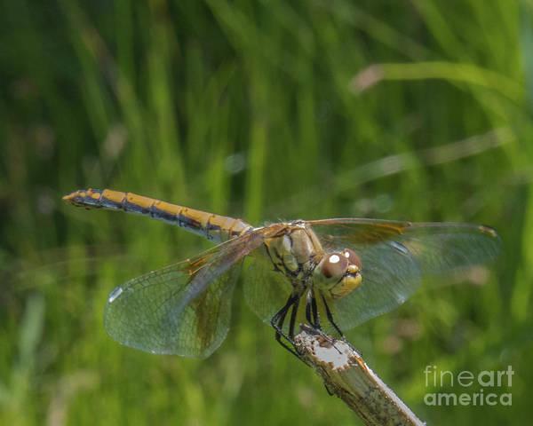 Dragonfly 7 Art Print