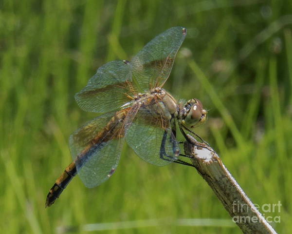 Dragonfly 8 Art Print
