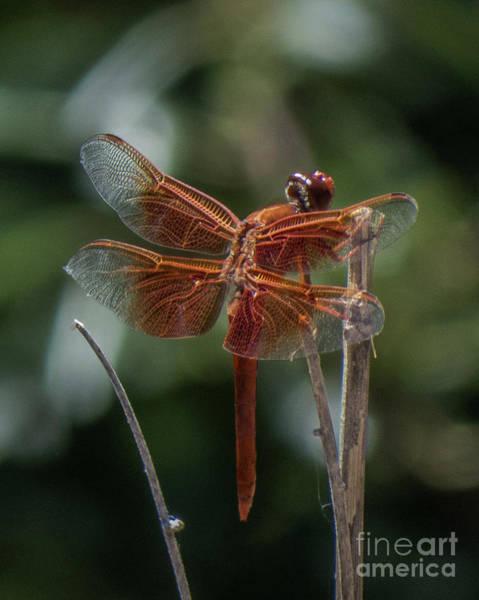 Dragonfly 9 Art Print
