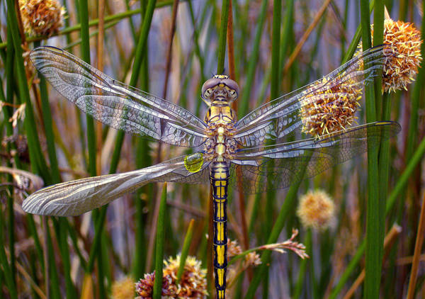 Dragonflies Wall Art - Photograph - Dragonfly by Alison Lee  Cousland